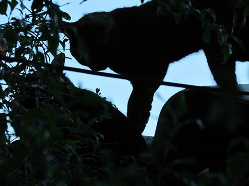 una pareja felina deambula en un parque natural. Estos animales serán rescatados por el ISTU y MAG